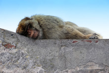 Portrait Of Gibraltar Monkey Sleeping At The Top Of The Rock Of Gibraltar. Traveling Spain UK.