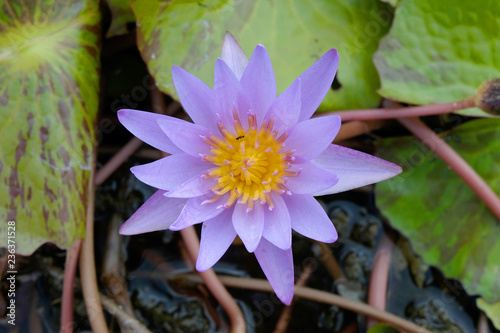 Foto op Canvas Lotusbloem purple lotus flower in pond