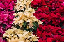 Magenta, Cream, And Red Christmas Poinsettias On Display At A Farm, Horizontal Orientation