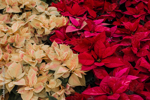 Cream And Red Colored Poinsettias On Display Next To Each Other On A