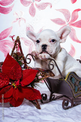 Stickers pour portes Panda White French Bulldog Puppy Resting on a Sled Surrounded by Christmas Poinsettia