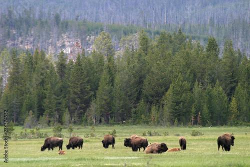 Aluminium Prints Bison American bison (Bison bison), Yellowstone National Park, Wyoming, USA