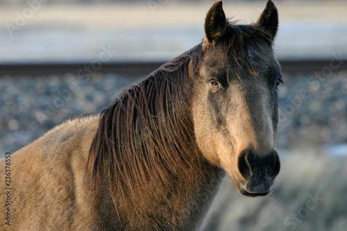 Fotografie, Obraz  Domesticated horse (Equus ferus caballus), Livingston, Montana, USA
