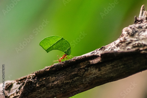 red ant carrying leaf Wallpaper Mural