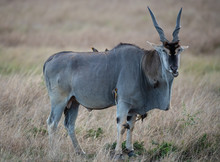 Eland And Biards