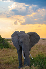 elephant in the sunset
