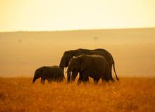 Elephant Family In Sunset