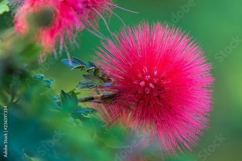 Fototapety, obrazy: Mimosa Tree Flower_red
