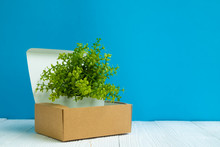 Little Decoration Tree Growing In Package Brown Cardboard Box Or Tray On Bright White Wooden Table With Blue Wall Background. Copy Space.