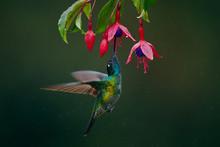 A Magnificent Hummingbird, Eugenes Fulgens, Photographed In Costa Rica. Wildlife Scene Form Rain Forest. Hummingbird Suck Nectar From Fuchsia.