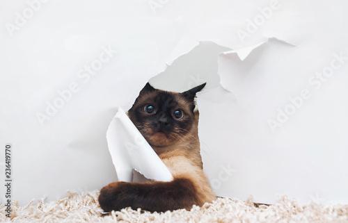 Fototapeta premium Zabawny kot syjamski spogląda przerażony i zdaje sobie sprawę, że zachowuje się w złym zachowaniu. Pojęcie winy za ich czyny.