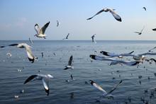 Seagull In Bangpu Samutprakan Thailand