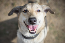 Happy Dog Is Smiling And Looking At The Camera