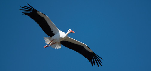 Flying stork under blue sky, stork flying in nature (Ciconia ciconia)