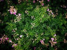 Pink Pink Trumpet Vine Flowers...