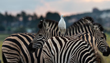 Zebra With Cattle Egret On Its...