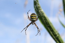 Beautiful Striped Wasp Spider ...