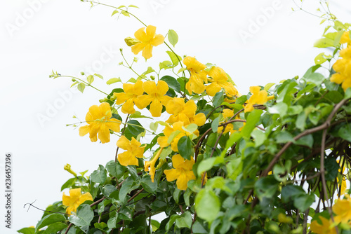 Papel de parede Beautiful yellow flowers with green leaves against summer blue sky background,Ca