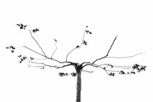 Flatted Tree With Bare Twigs A...