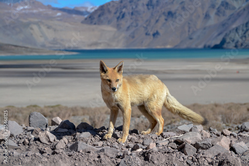 Zorro cerca del lago Tablou Canvas