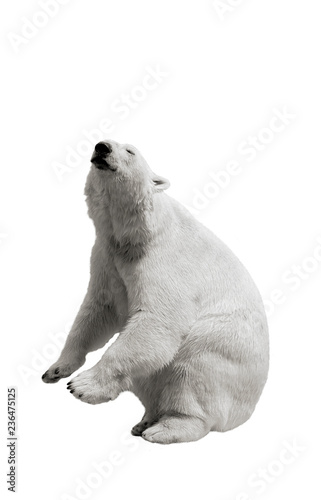 The polar bear stands on its hind legs and asks for food on a white isolated bac Wallpaper Mural