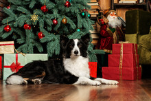 Border Collie Dog New Year's P...