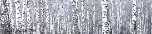 Fotografie, Obraz  panoramic photo of beautiful scene with birches in autumn birch forest in novemb