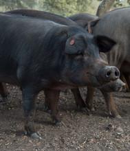 Black Iberian Pig
