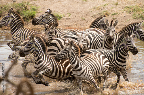 Photo  Zebras running from watering hole
