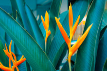 Heliconia Psittacorum Or Golden Torch Flowers With Green Leaves. Colorful Flower On Dark Tropical Foliage Nature Background.