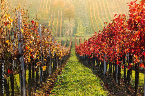 ineyards in the fall, red, yellow, South Moravia