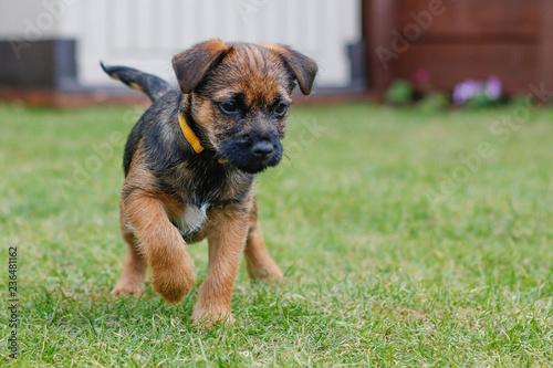 Obraz border terrier puppy playing - fototapety do salonu