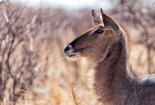 Side View Of Waterbuck Eating Plants At Desert During Sunny Day