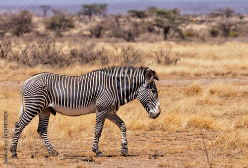 Side view of zebra walking on field during sunny day