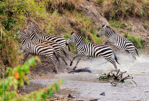 Side view of zebras running from river on field
