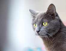 Close-up Of Gray Cat Looking A...