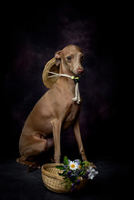 Portrait Of Italian Greyhound ...