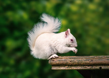 A Rare Wild White Albino Squir...
