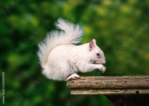 A rare wild white albino squirrel sitting on a wooden platform eating with his fluffy tail curled up above his head Wallpaper Mural