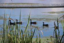 Perspective Photography Birds Hens Ducks On Blue Lake Water Horizon Background With Green Grass Foreground.