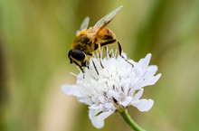 Close-up Of Honey Bee Pollinat...