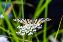 Close-up Of Butterfly Pollinating On White Flowers