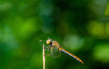 Side View Of Dragonfly On Twig