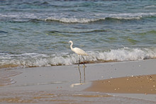 Stork On The Seafront In Searc...