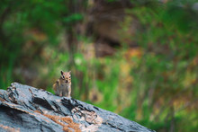 Chipmunk On Rock On Background Of Greenery In Highlands. Small Curious Animal On Colorful Stone. Little Fluffy Cute Mammal On Picturesque Boulder In Mountains. Small Rodent. Little Nimble Chipmunk.