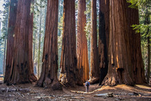 Single Man With Huge Grove Of Giant Sequoia Redwood Trees In California Forest
