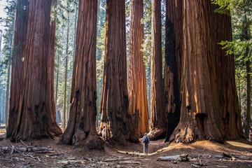 Samac s ogromnim gajem divovskih stabala sekvoje crvenokosog drveta u Kalifornijskoj šumi