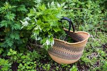 Basket Containing Mugwort