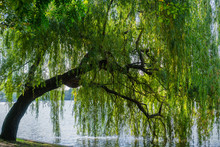 Weeping Willow Tree On The Shoreline Of Herastrau Lake, Bucharest, Romania