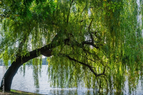 Weeping willow tree on the shoreline of Herastrau Lake, Bucharest, Romania Fototapet